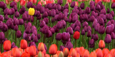 bloom-blossom-colorful-66921